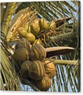 Coconuts Cluster At Los Tules Resort Acrylic Print