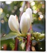 Coffee Blossom 2 Acrylic Print