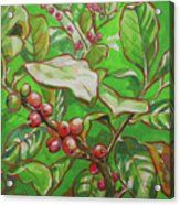 Coffee Cherries Acrylic Print