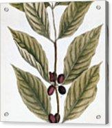 Coffee Plant, 1735 Acrylic Print