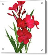 Cog  Nerium Oleander Emile Sahut Acrylic Print