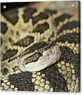 Coiled Rattlesnake Acrylic Print