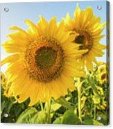 Colby Farms Sunflower Field Closeup Acrylic Print