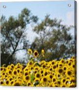 Colby Farms Sunflower Field Newbury Ma Standing Tall Acrylic Print
