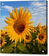 Colby Farms Sunflower Field Newbury Ma Sunrise Acrylic Print