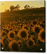 Colby Farms Sunflower Field Newbury Ma Sunset Acrylic Print