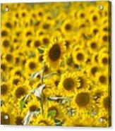 Colby Farms Sunflower Field Newbury Ma Acrylic Print