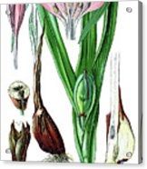 Colchicum Autumnale, Commonly Known As Autumn Crocus, Meadow Saf Acrylic Print