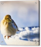 Cold American Goldfinch Acrylic Print