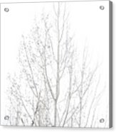 Cold Birch Acrylic Print