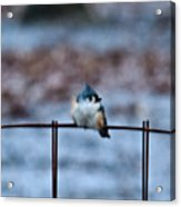 Cold Fledgling Acrylic Print