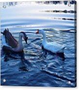 Cold Morning Swim 2 Acrylic Print