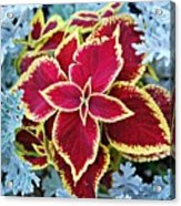 Coleus And Dusty Miller Acrylic Print