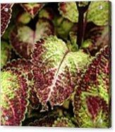 Coleus Plant Acrylic Print