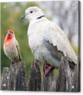Collared Dove and House Finch Acrylic Print