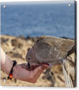 Collared Dove Feeding From A Hand Acrylic Print