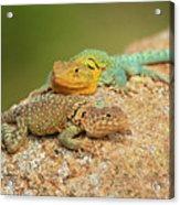 Collared Lizards Acrylic Print