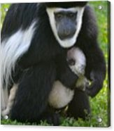 Colobus Monkey With Baby Acrylic Print