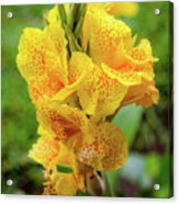 Colombian Flower Acrylic Print