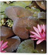 Colombian Pink Lillies Acrylic Print