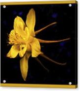Colombine 1 Acrylic Print