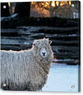 Colonial Sheep In Winter Acrylic Print