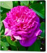 Color Of Rose Acrylic Print