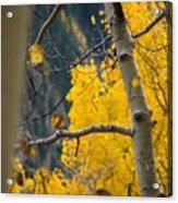 Colorado Aspen In Fall Acrylic Print