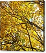 Colorado Aspens In Fall Acrylic Print