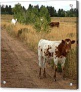 Colorado Calf Acrylic Print