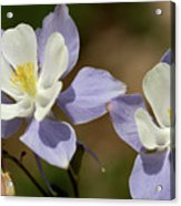 Colorado Columbine #1 Acrylic Print