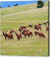 Colorado Elk Herd Acrylic Print
