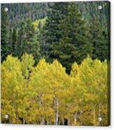 Colorado Golden Aspens Acrylic Print