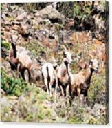Colorado Mountain Sheep Acrylic Print