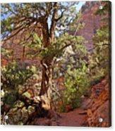 Colorado Pinyon Acrylic Print