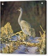 Colorado Sandhill Crane  Acrylic Print