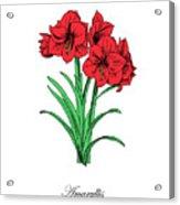 Colored Amaryllis. Botanical Acrylic Print