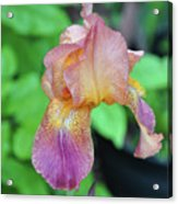 Colored Iris  Acrylic Print