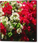 Colorful Bougainvilleas Acrylic Print