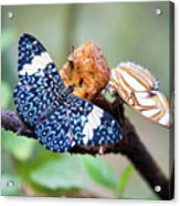 Colorful Butterflies Acrylic Print