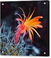 Colorful Cactus Flower Acrylic Print