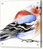 Colorful Chaffinch Acrylic Print