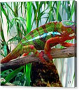 Colorful Chameleon Acrylic Print