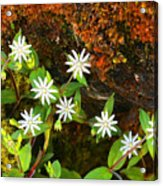 Colorful Chickweed Acrylic Print