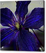 Colorful Clematis Acrylic Print