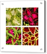 Colorful Coleus Acrylic Print