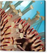 Colorful Crown Of Thorns Starfish Acrylic Print