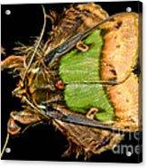 Colorful Cryptic Moth Acrylic Print