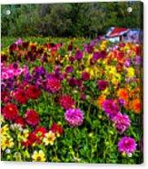Colorful Dahlias In Garden Acrylic Print