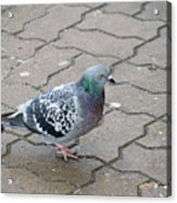 Colorful Dove Acrylic Print